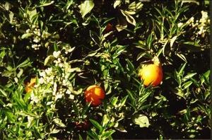 Naranjas - Símbolo de Valencia